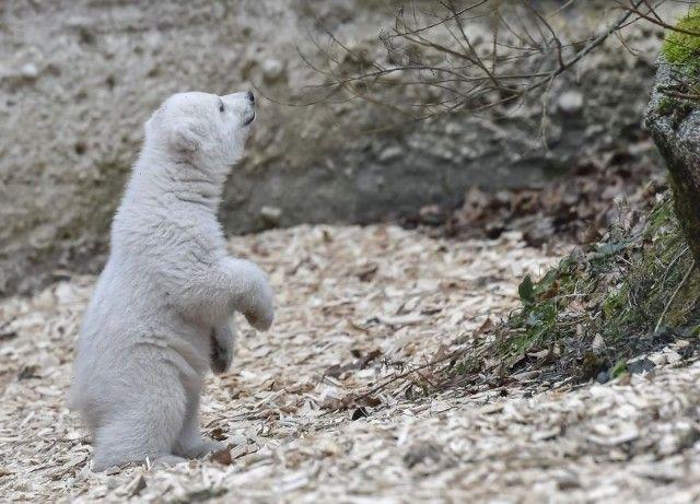 winking-polar-bear-cub-germany-58b7d54b2c1c5__880_e