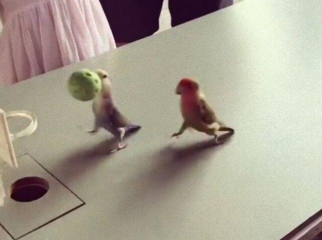 parrotplayingbasketball3_e