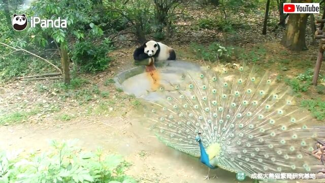 pandanpeacock3_640