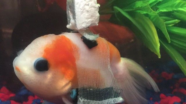 goldfish-3_e