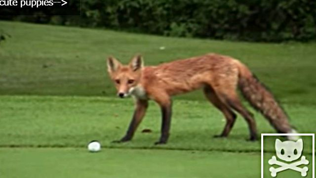 golfballfox2