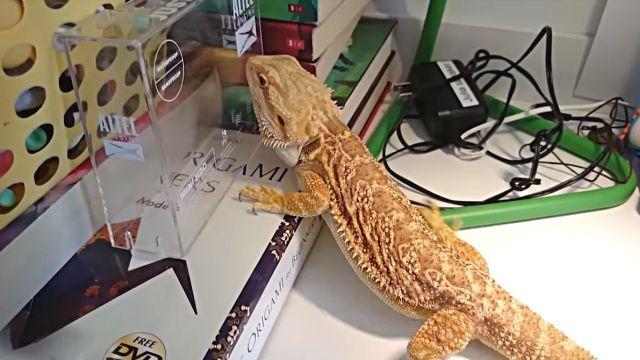lizards2