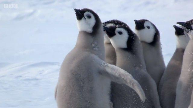 penguinchicks7_e