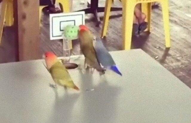 parrotplayingbasketball5_e