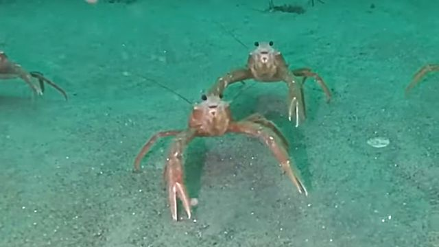 tunacrabs2