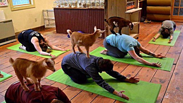 yogawithgoats3_ea