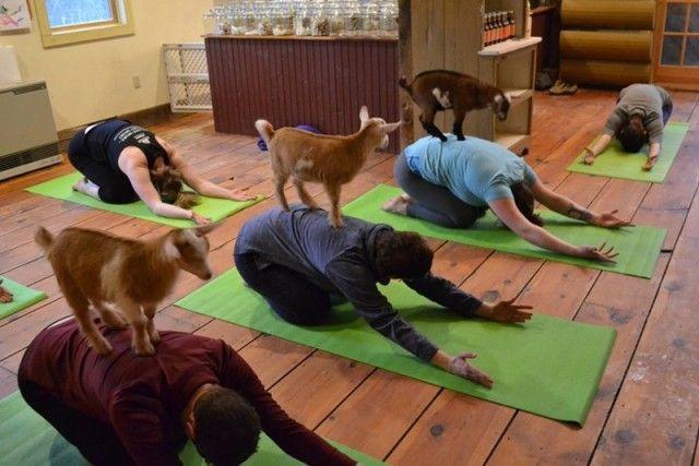 yogawithgoats3_e