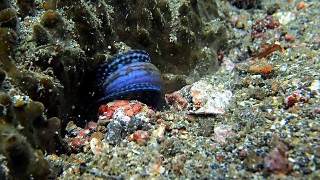 jawfish5