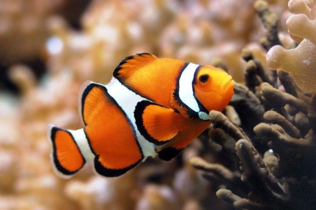 Clownfish_e