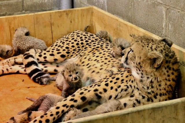 cheetah-eight-cubs-st-louis-zoo-3-5a4f6fcc6e953__700_e