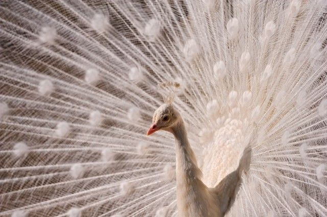 pretty-white-peacock_e