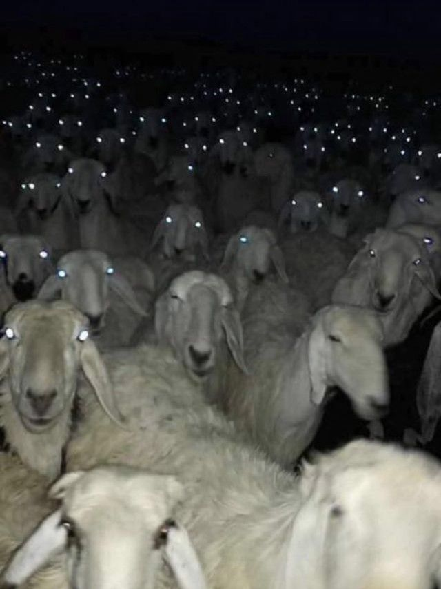 creepy-sheep3_e
