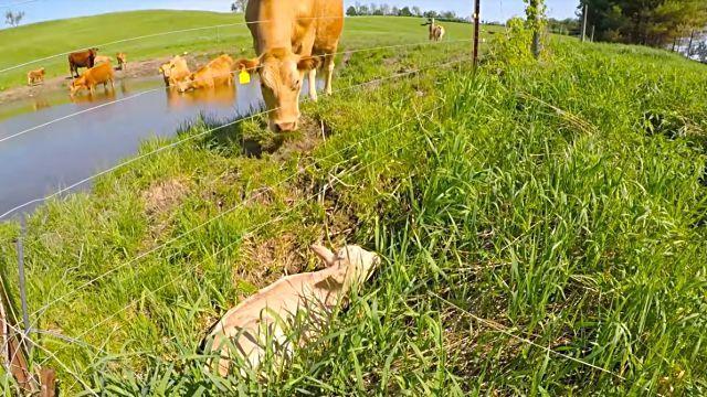 cowsmom4