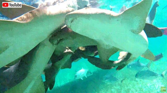 サメ団子というよりサメの壁?ベリーズの海でコモリザメといっしょに泳ぐとこうなる件