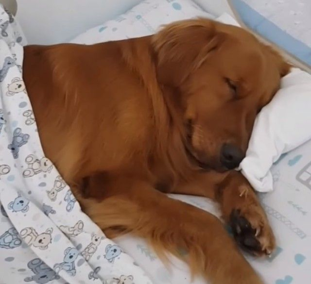 sleepinggolden1_e