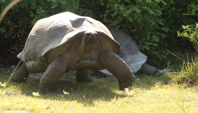 matingtortoises5_e