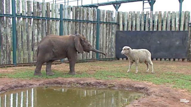 sheepnelephant5