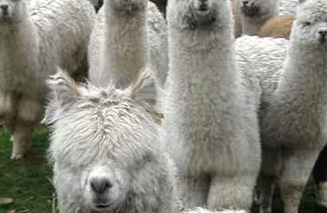 alpaca-approach2