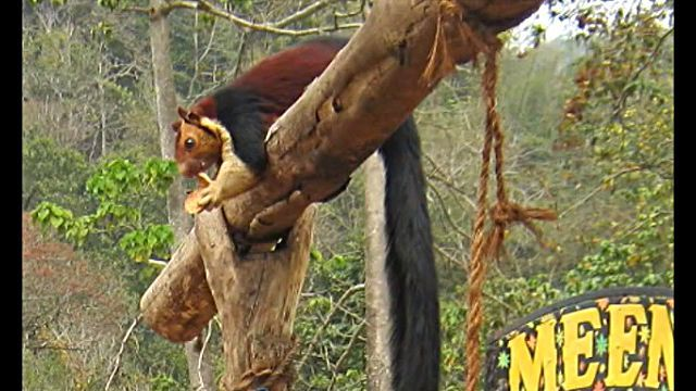 indianGiantSquirrel3