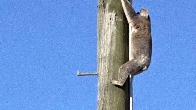 koala-1_e