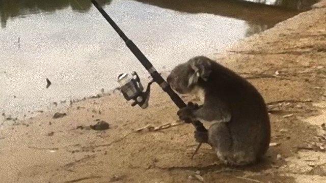 koalafishing1_e
