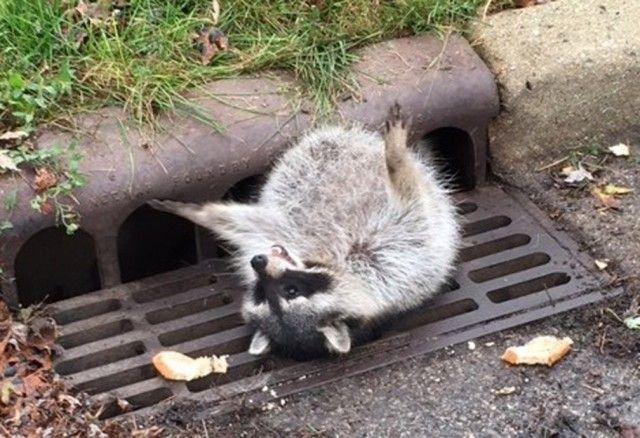 171103-fat-raccoon-stuck-01_e