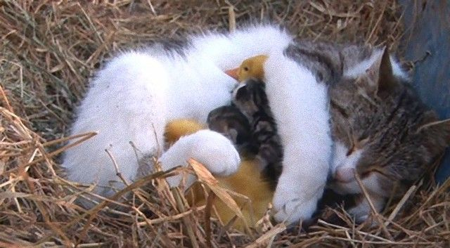 catnducklings3_e