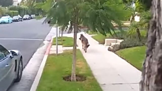 walkingdog4