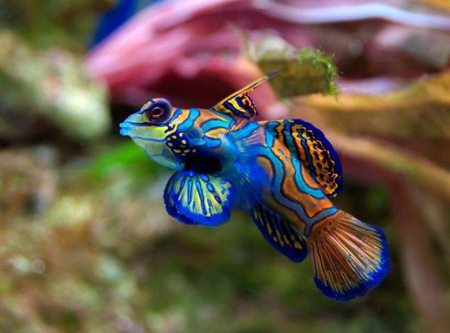 Mandarinfish_e
