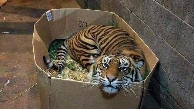 tiger-1 (1)_e