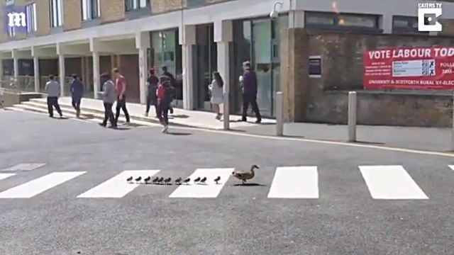 ducklingscrossing1