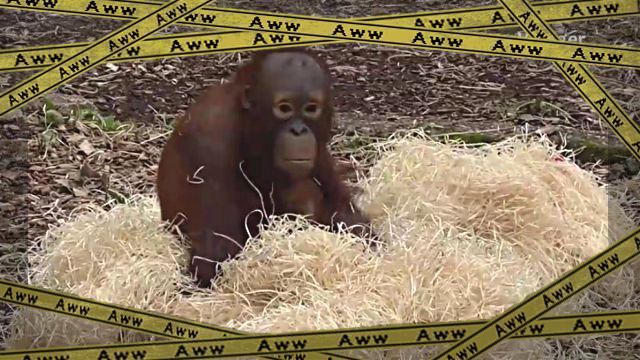 orangutanbaby1-frame