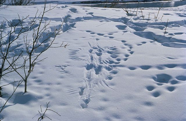 Predator_and_prey_activity_footprints_animal_traces_in_the_snow