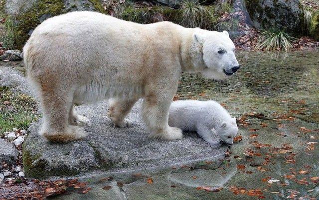 winking-polar-bear-cub-germany-4-58b7ce314be08__880_e