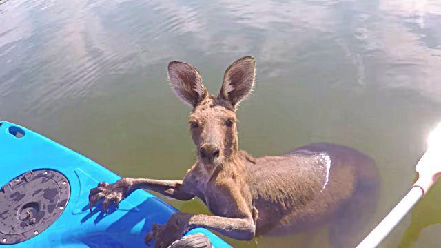 kangaroorescue0