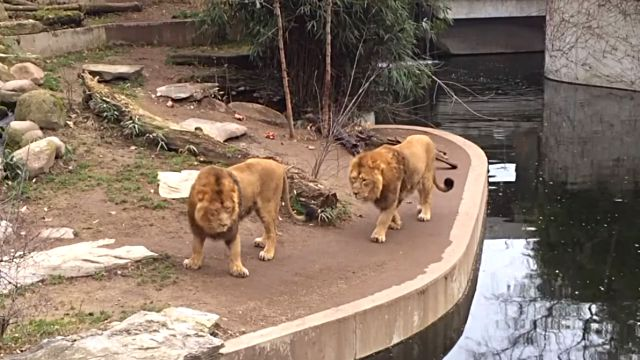lionfallsinwater1