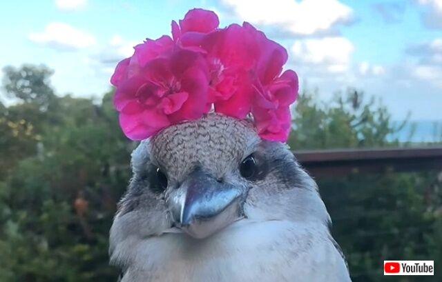 「どう、似合う?」キレイな花冠にご満悦のワライカワセミが人懐っこくて可愛い件