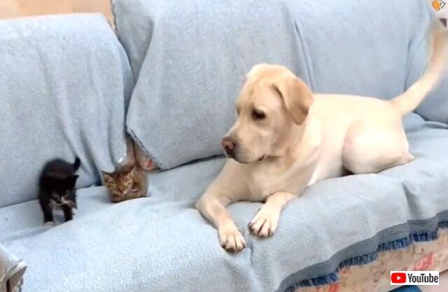 犬氏「こんな可愛い子たちほっとけない!」散歩の途中で出会った子猫を保護する優しいラブラドール