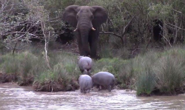 elephantnhippos0_e