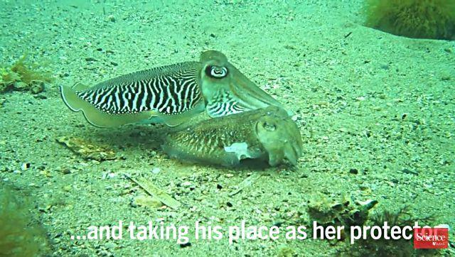 cuttlefish5