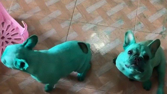 タイで発見。緑色に染まっちゃったブルドッグたち。その真相は?