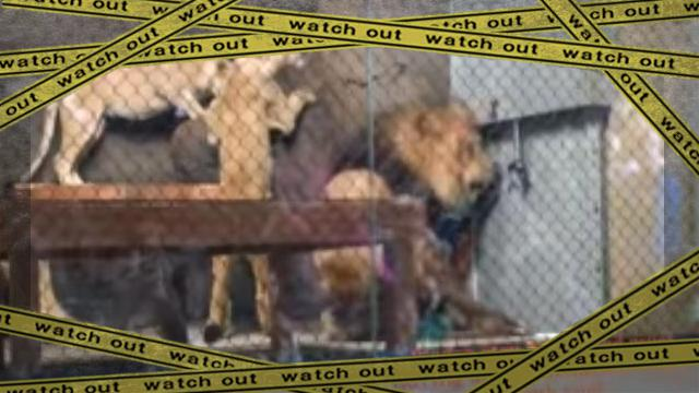 lion tailok-frame
