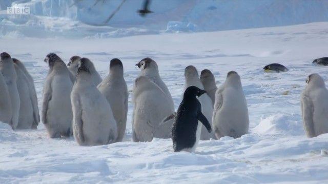 penguinchicks12_e