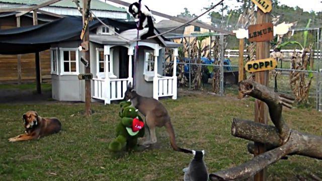 kangaroohippo2