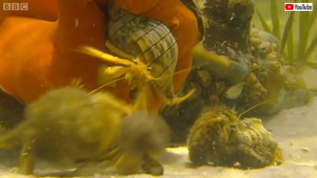 conchncrabs7_640