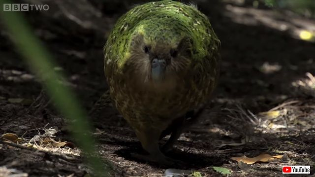 kakapo3_640