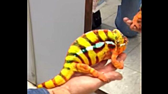 pantherchameleon4