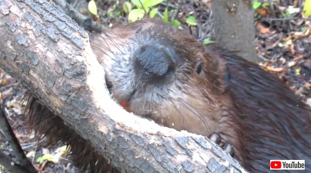 beaver4_640