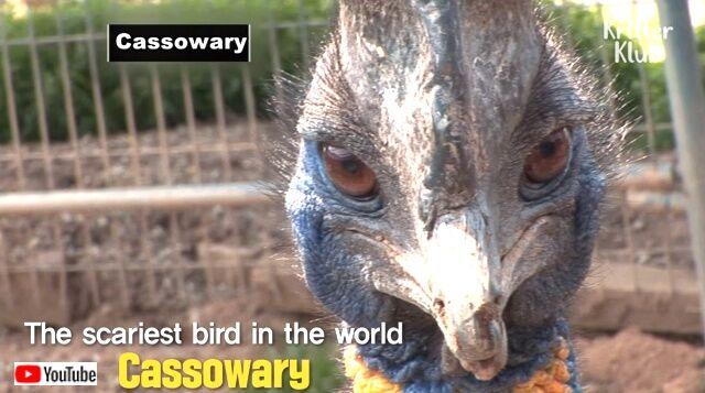 cassowarybird3_640