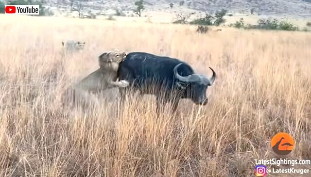 buffalo4_640